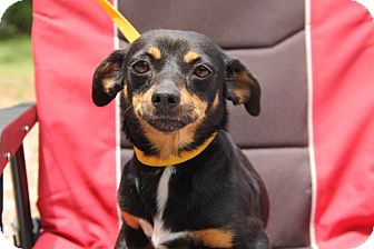Dachshund/Miniature Pinscher Mix Dog for adoption in tampa, Florida - Buster