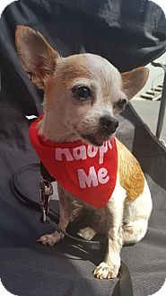 Chihuahua Dog for adoption in Los Angeles, California - Princess - 5 lbs!