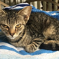 Domestic Shorthair Kitten for adoption in Cleveland, Tennessee - Pinkie Pie