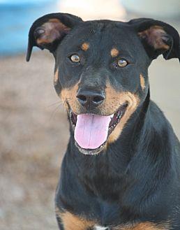 Doberman Pinscher/Labrador Retriever Mix Dog for adoption in Mahwah, New Jersey - Maylie