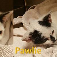 Domestic Shorthair Kitten for adoption in Flint, Michigan - Pawlie