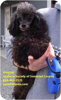 Toy Poodle Dog for adoption in Somerset, Pennsylvania - Prophet