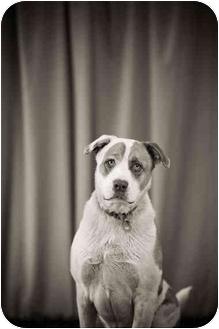 St. Bernard/Labrador Retriever Mix Dog for adoption in Portland, Oregon - Dexter