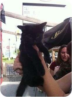 Domestic Mediumhair Kitten for adoption in White Settlement, Texas - Princess