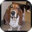 Basset Hound Dog for adoption in Marietta, Georgia - Gabby