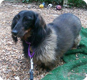 Dachshund Dog for adoption in Oak Ridge, New Jersey - Daisy