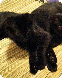 Domestic Shorthair Kitten for adoption in Smithfield, North Carolina - Tootsie