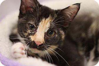Domestic Shorthair Kitten for adoption in Alexandria, Virginia - Brie