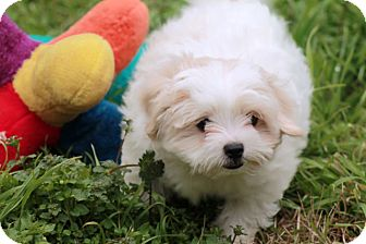 Shih Tzu/Poodle (Toy or Tea Cup) Mix Puppy for adoption in Austin, Texas - Tick
