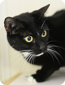 Domestic Shorthair Cat for adoption in Gardnerville, Nevada - Tess