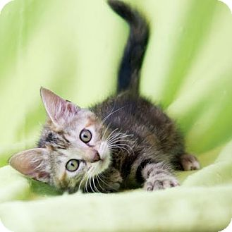 Domestic Shorthair Kitten for adoption in Columbia, Illinois - Mango