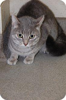 Domestic Shorthair Cat for adoption in Bucyrus, Ohio - Rain