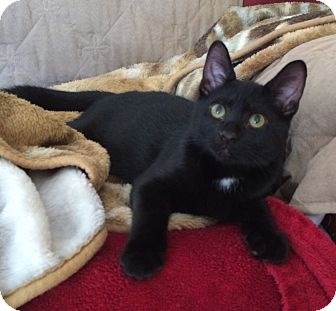 Bombay Kitten for adoption in Harriman, New York - Alfred