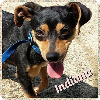 Miniature Pinscher Mix Puppy for adoption in Newnan, Georgia - Indiana