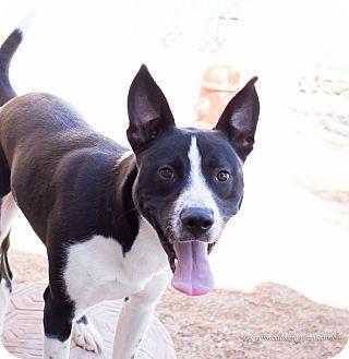 Border Collie/Husky Mix Dog for adoption in Sierra Vista, Arizona - Archie