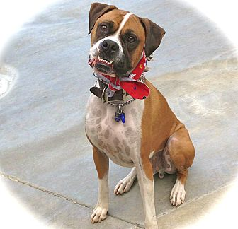 Boxer Dog for adoption in Burbank, California - Handsome Rico-VIDEO