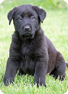 Labrador Retriever/Flat-Coated Retriever Mix Puppy for adoption in Moosup, Connecticut - MASON