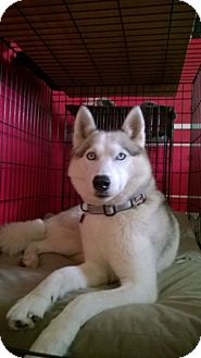 Siberian Husky Mix Dog for adoption in Houston, Texas - Jon Snow