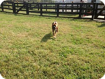 Boxer Dog for adoption in Brentwood, Tennessee - Belle Starr