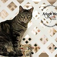 American Shorthair Cat for adoption in Belton, Missouri - Pop