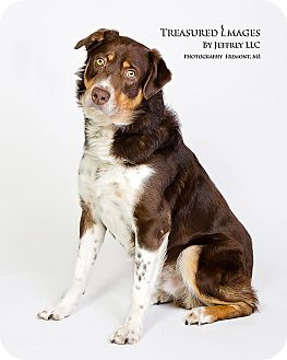 Australian Shepherd Mix Dog for adoption in Fremont, Michigan - Riley Joe