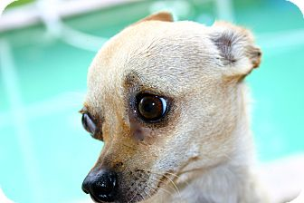 Chihuahua Dog for adoption in Ft Myers Beach, Florida - Who will be the Lucky one!!!