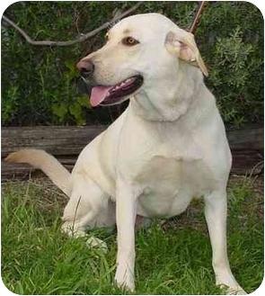 Labrador Retriever Mix Dog for adoption in Brenham, Texas - Ladybug
