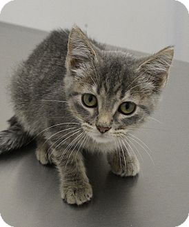 Domestic Shorthair Kitten for adoption in Springfield, Illinois - Windy