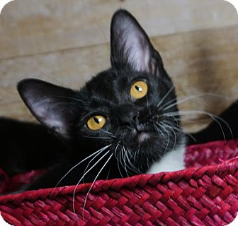 Domestic Mediumhair Kitten for adoption in Houston, Texas - Ogee
