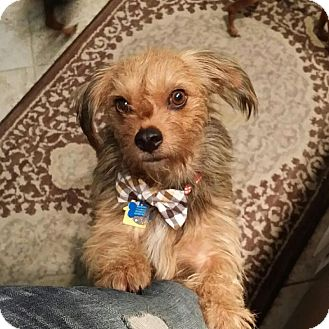 Cairn Terrier/Yorkie, Yorkshire Terrier Mix Dog for adoption in Calgary, Alberta - Norman