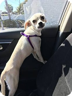 Pug Mix Puppy for adoption in Huntington Beach, California - Autumn