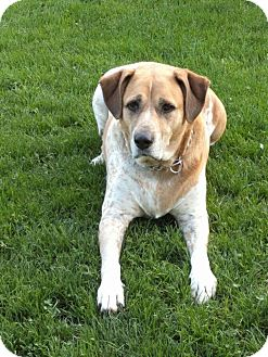 Labrador Retriever/English Pointer Mix Dog for adoption in Davisburg, Michigan - Abbie