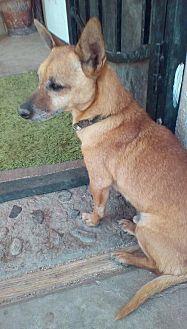 Dachshund Mix Dog for adoption in Apple Valley, California - Glen