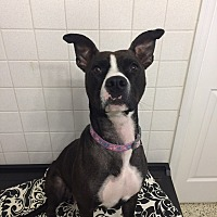 Feist/Pit Bull Terrier Mix Dog for adoption in St. Louis, Missouri - Betsy