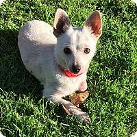 Adopt A Pet :: Loki - Los Angeles, CA