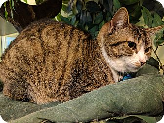 Domestic Shorthair Cat for adoption in The Colony, Texas - Chelsea