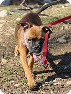 Pug Mix Puppy for adoption in Gloucester, Massachusetts - Sol