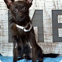 Adopt A Pet :: Hawk - Bridgeton, MO