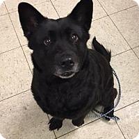 Adopt A Pet :: Trixie- Ohio - Fulton, MO