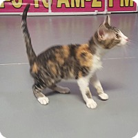 Adopt A Pet :: Chirp - Hawk Point, MO