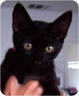 Domestic Shorthair Kitten for adoption in Rolling Hills Estates, California - Licorice
