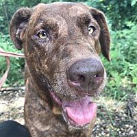 Labrador Retriever Dog for adoption in Jackson, Mississippi - Margaret Ann