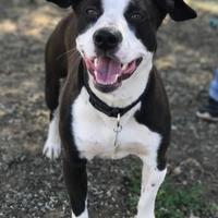 Adopt A Pet :: Buddy - The Dalles, OR