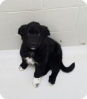 English Shepherd Mix Puppy for adoption in Atchison, Kansas - Stormy