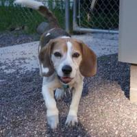 Adopt A Pet :: Barnacle - Houghton, MI