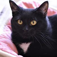 Domestic Shorthair/Domestic Shorthair Mix Cat for adoption in Dodgeville, Wisconsin - Lexas