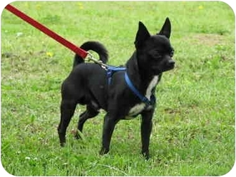 Chihuahua Dog for adoption in Drumright, Oklahoma - Apollo