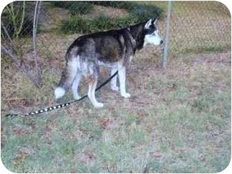 Siberian Husky Mix Dog for adoption in Wilmington, Massachusetts - Orion