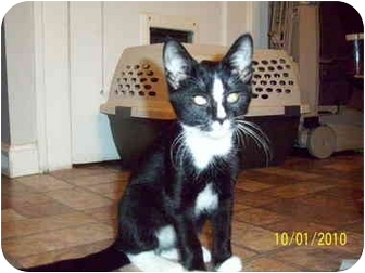 Domestic Shorthair Kitten for adoption in Cleveland, Ohio - Lil Man