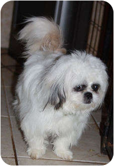 Shih Tzu/Chihuahua Mix Puppy for adoption in Gapland, Maryland - Crystal